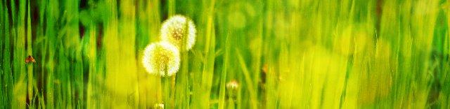 春の野原に咲く綿毛のタンポポ