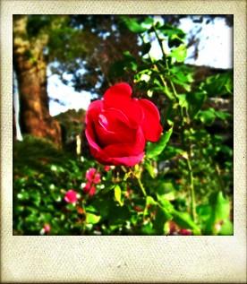 ありのままに生きる美しい薔薇